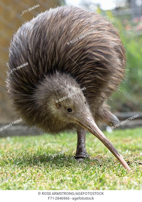 Sparky a North Island Brown Kiwi, Apteryx mantelli, with only one leg. The other leg had been amputated after it was caught in a gin trap