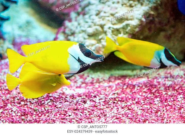foxface rabbitfish. Siganus vulpinus