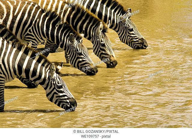 Group of common Zebra drinking - Masai Mara National Reserve, Kenya