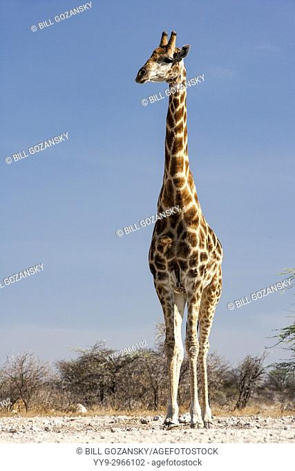 Giraffe at Onkolo Hide, Onguma Game Reserve, Namibia, Africa