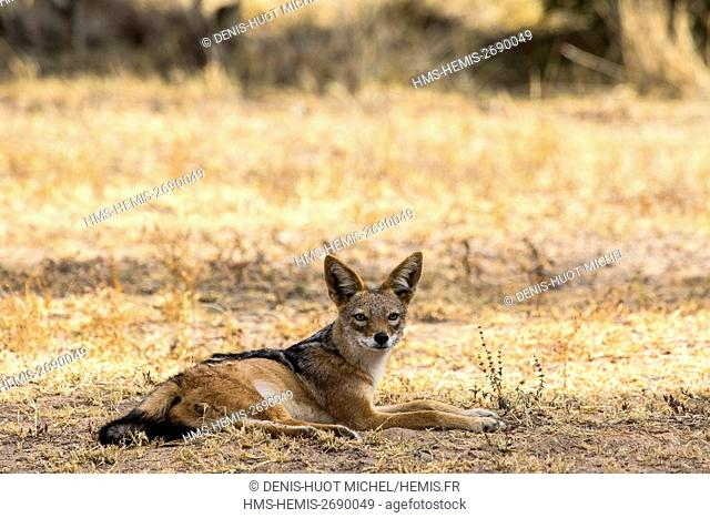 South Africa, Sabi Sands game reserve, black-backed jackal (Canis mesomelas)
