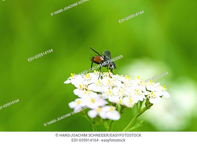common fly on yarrow flower in Germany