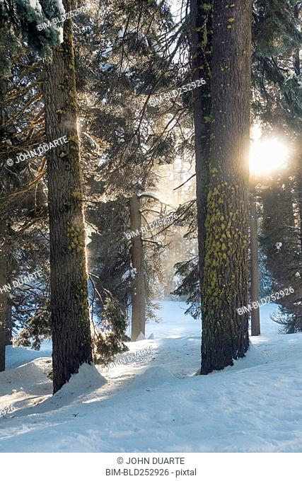 Trees in sunny winter forest
