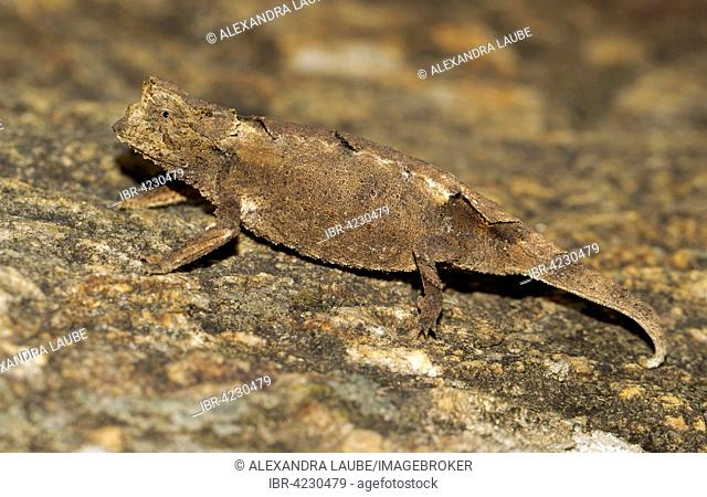 Brookesia brunoi (Brookesia brunoi), chameleon, female, Southern Highlands, Madagascar