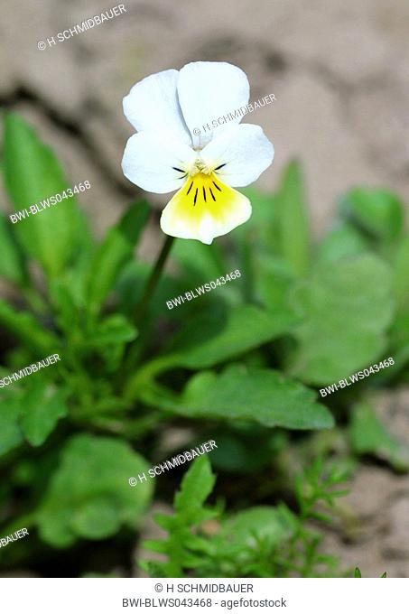 cultivated pansy, field pansy, small wild pansy Viola arvensis, blooming