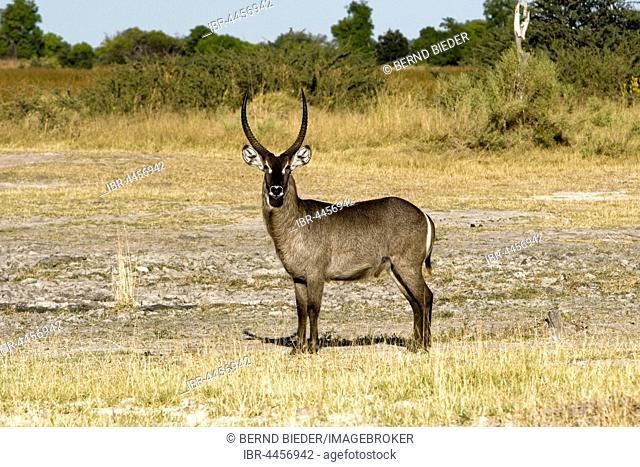 Waterbuck (Kobus sp.), Moremi National Park, Okavango Delta, Botswana