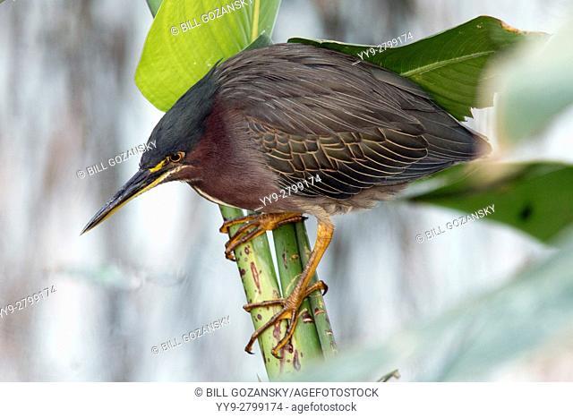 Green Heron - Green Cay Wetlands - Boynton Beach, Florida USA