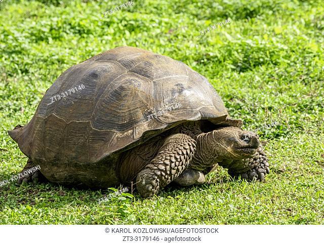 Giant Tortoise, El Chato, Highlands of Santa Cruz or Indefatigable Island, Galapagos, Ecuador