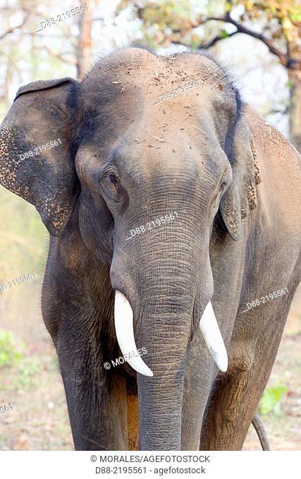 Asia,India,Karnataka,Nagarhole national park,Tiger reserve of Kabini,Asian or Asiatic elephant (Elephas maximus)
