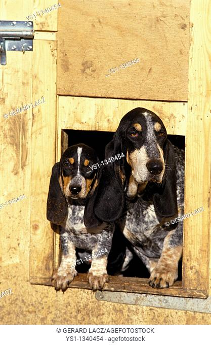 GASCONY BLUE BASSET OR BASSET BLEU DE GASCOGNE, FEMALE WITH PUP STANDING AT KENNEL ENTRANCE