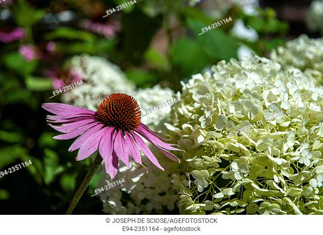 A close up of a purple cone flower, Echinacea, in front of a whit Hydrangea flower in a garden
