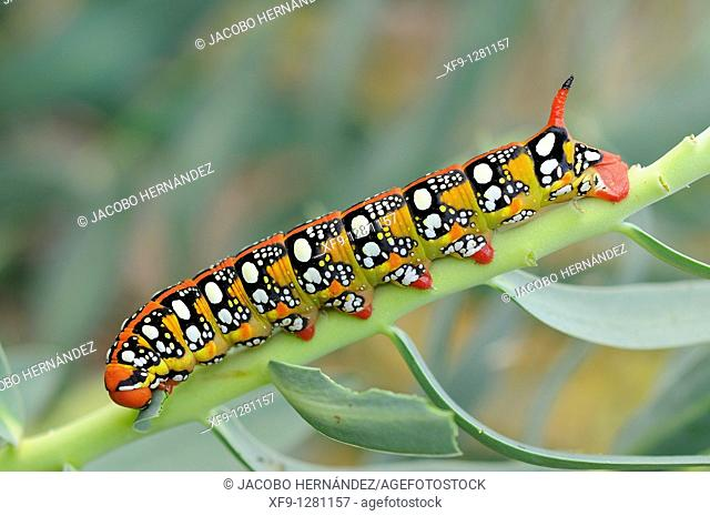 Spurge hawkmoth caterpillar. Hyles euphorbiae. Ambroz Valley. Cáceres province. Extremadura. Spain