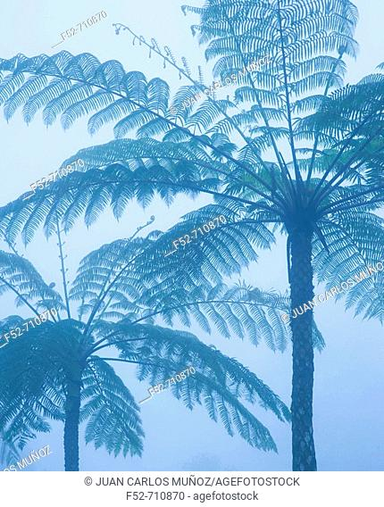 Ferns in Kinabalu National Park. Sabah, Borneo, Malaysia