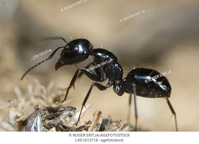 Camponotus foreli, aggressive mediterranean ant worker