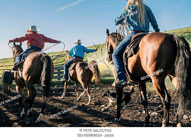 Cowboys and cowgirls on horses lassoing bull, Enterprise, Oregon, United States, North America