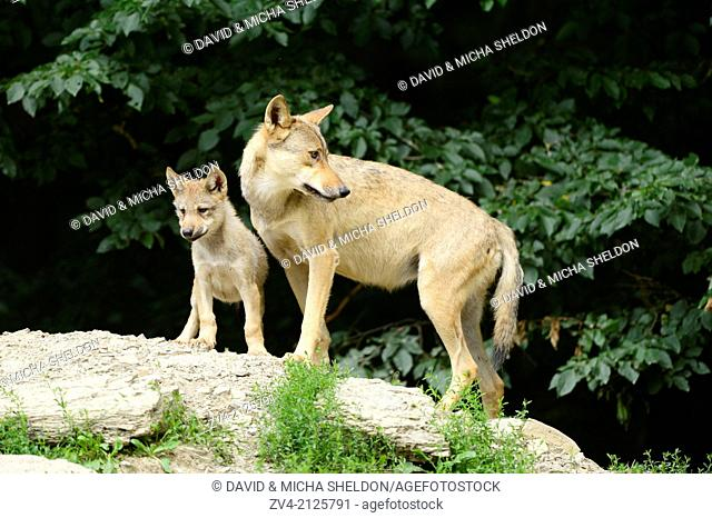 Eastern wolf (Canis lupus lycaon) mother with her whelp, Germany, Europe
