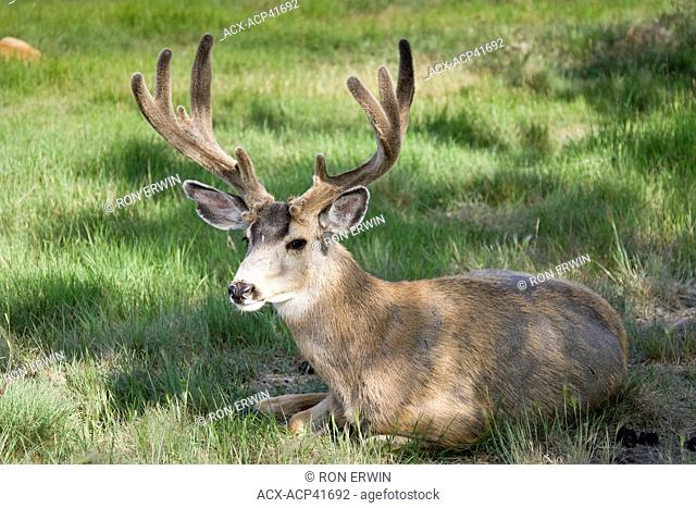 Mule Deer Odocileus hemionus with velvet antlers in the Yukon Wildlife Preserve north of Whitehorse, Yukon Territory, Canada