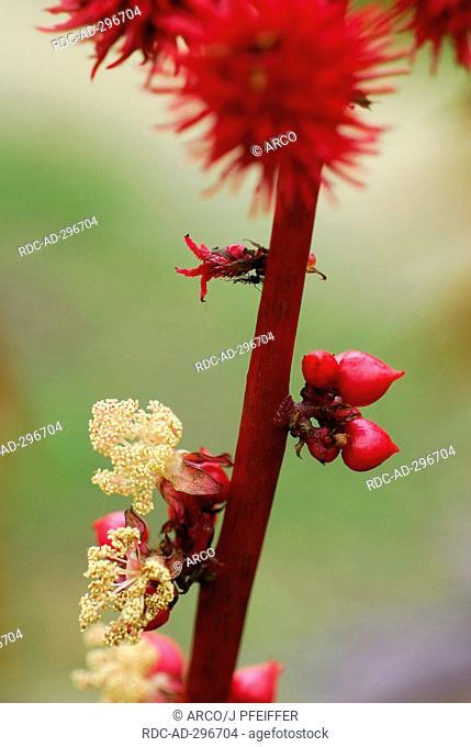 Ricinus / Ricinus communis