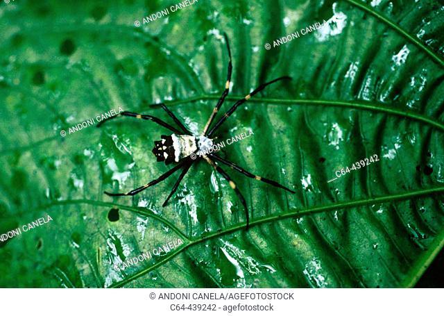 Spider. Amazonia. Peru