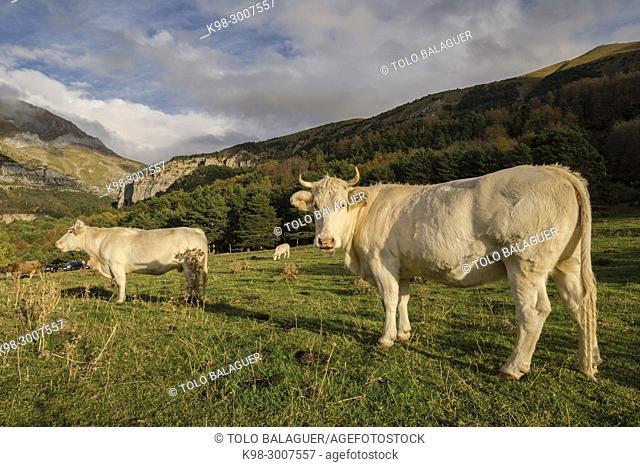 manada de vacas pirenaicas, Gabardito, Parque natural de los Valles Occidentales, Huesca, cordillera de los pirineos, Spain, Europe