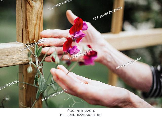 Hands with sweet pea flowers