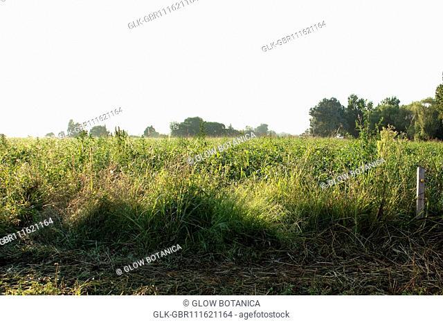 Crop in a field at dawn