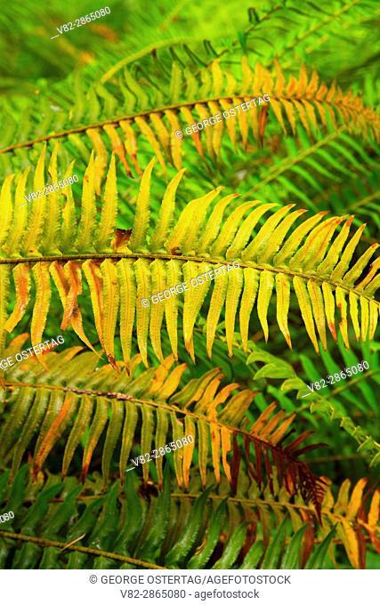 Western sword fern (Polystichum munitum), McDowell Creek Falls County Park, Oregon