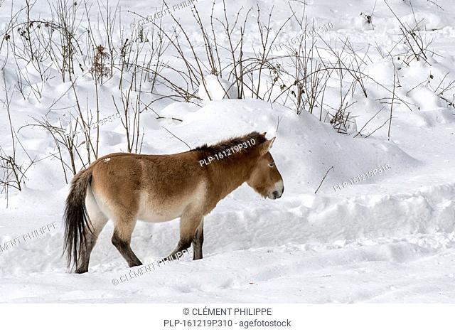 Przewalski horse (Equus ferus przewalskii) native to the steppes of Mongolia, central Asia in the snow in winter