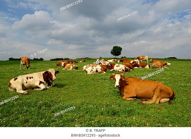 domestic cattle (Bos primigenius f. taurus), herd of cows on pasture, Germany, Bergisches Land, Wuppertal
