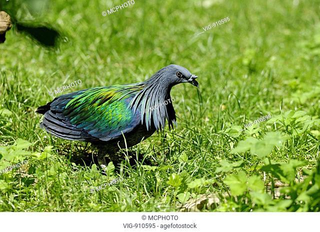 Mõhnentaube (Caloenas nicobarica, Columba nicobarica) Nicobar Pigeon ; Stuttgart, Baden-W³rttemberg; GERMANY; Germany - Stuttgart, GERMANY / Germany, 19/06/2007