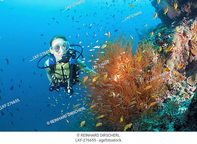 Black Coral and Diver, Antipathes dichotoma, Maldives, Maya Thila, North Ari Atoll