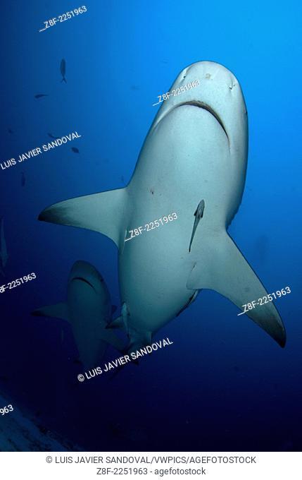 Group of Bull shark, Carcharhinus leucas, on their anual migration for reproductive purposes to Riviera Maya, Playa del Carmen Yucatan peninsula Mexico