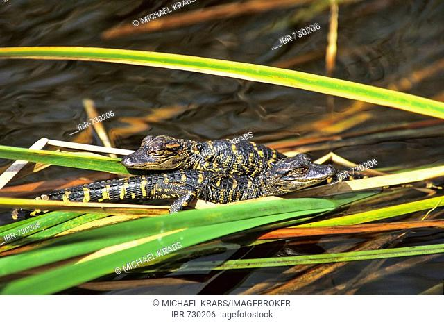 American Alligator (Alligator mississippiensis) babies, Everglades National Park, Florida, USA