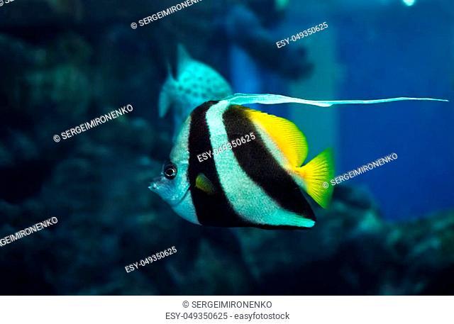 Fish Heniochus acuminatus at the deep blue ocean near the corals close up