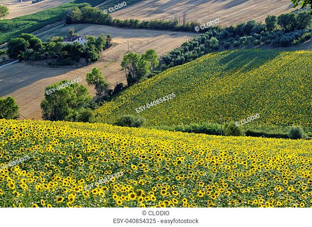 Rural landscape at summer near Corinaldo (Ancona, Marches, italy). Sunflowers