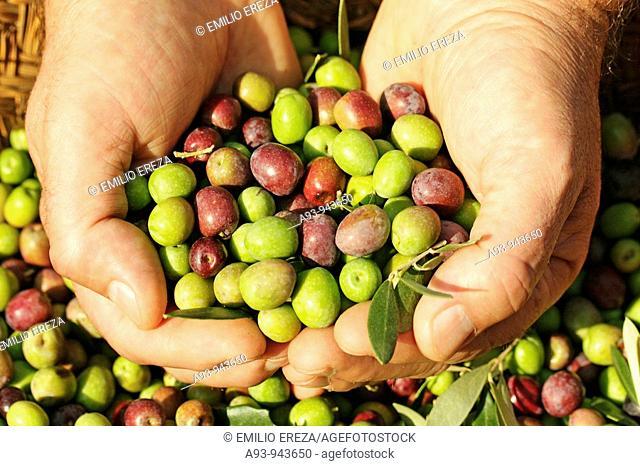 Harvesting olives (arbequina variety), Lleida, Catalonia, Spain