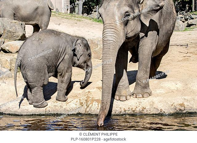 Asian elephant / Asiatic elephants (Elephas maximus) female with young drinking water in the Planckendael Zoo, Belgium