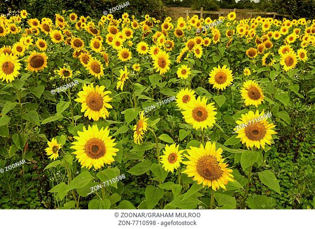A Field Of Sunflowers (Helianthus) Berkshire UK