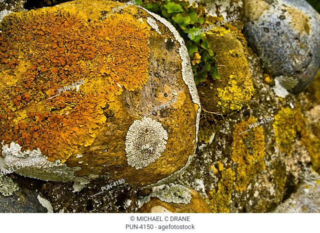 Variety of lichen Xanthoria parietina on the ruins of Leiston Abbey, Suffolk