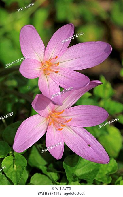 Meadow saffron, Naked lady, Autumn crocus (Colchicum autumnale), blooming, Germany