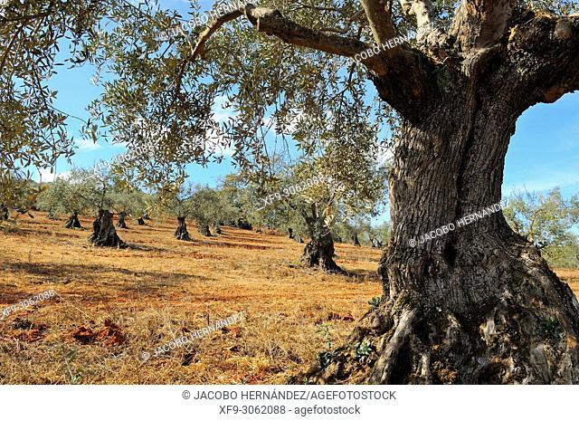 Traditional olive grove. Olivenza. Badajoz province. Extremadura. Spain