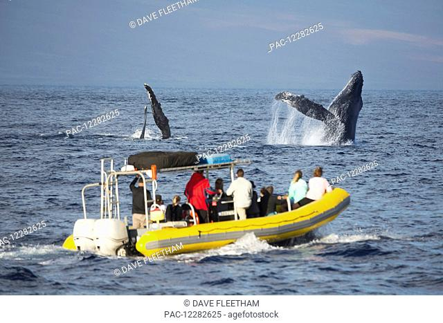 A whale watching boat off the island of Maui gets a close looks at a breaching humpback whale (Megaptera novaeangliae); Hawaii, United States of America