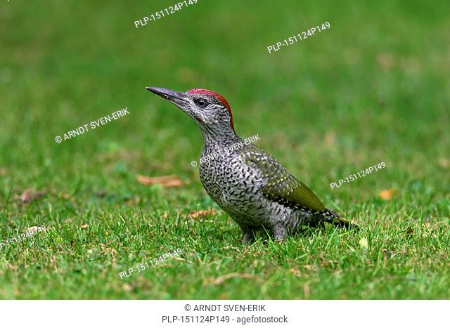 European green woodpecker (Picus viridis) juvenile foraging in garden lawn