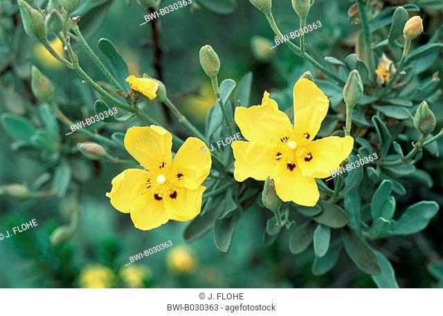 halimium (Halimium halimifolium), blossoms, Portugal