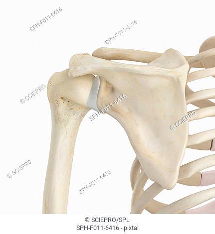 Human shoulder bones, computer illustration