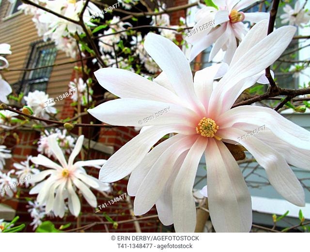 A blossomed magnolia tree in Brooklyn, NY