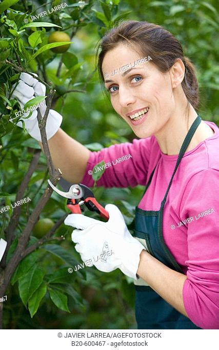 Gardener pruning lemon tree. Garden, Tree nursery. Gipuzkoa, Euskadi. Spain