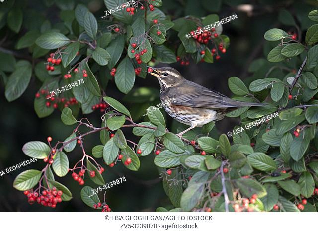 Redwing-Turdus iliacus feeds on Cotoneaster Berries. Winter