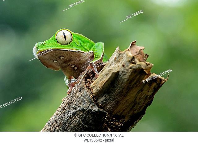 White-lined leaf frog (Phyllomedusa vaillantii), Treefrog family (Hylidae), Amazon rainforest, Yasuni National Park, Ecuador