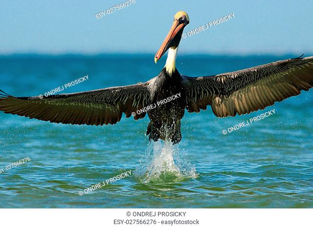 Pelican starting in the blue water. Brown Pelican splashing